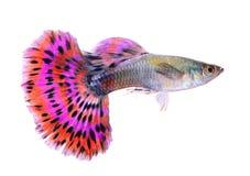 Guppyfische lokalisiert auf weißem Hintergrund stockbilder