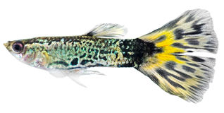 Guppyfische (Poecilia reticulata) Stockfotografie
