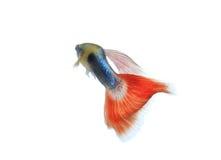Guppyfisk royaltyfria bilder