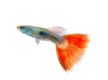 Guppyfisk royaltyfria foton