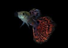 Guppyfisk fotografering för bildbyråer