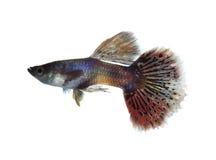 Guppyfisk Arkivfoto