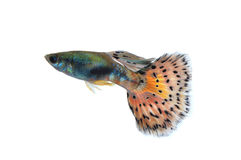 Guppyfisk royaltyfri bild
