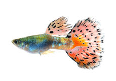 Guppyfisk på svart bakgrund royaltyfri fotografi