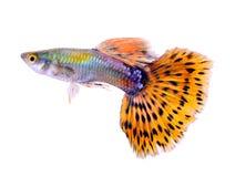 Guppyfisk på vit bakgrund royaltyfri bild