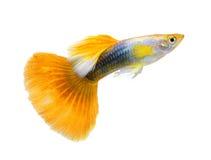 Guppyfisk på vit bakgrund arkivbilder