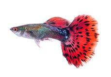 Guppyfisk på vit bakgrund arkivfoton
