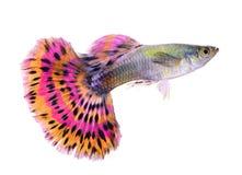 Guppyfisk på vit bakgrund fotografering för bildbyråer