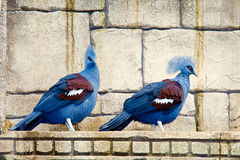 Gura occidental. Two colorful birds, gura occidental Royalty Free Stock Photography