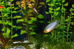Gurami da pérola em um leeri de Trichopodus do aquário Fotos de Stock