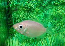Gurami kissed Helostoma temminckii peaceful. Aquarium fish stock photos