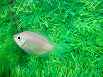 Gurami kissed Helostoma temminckii peaceful. Aquarium fish stock photo