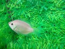 Gurami kissed Helostoma temminckii peaceful. Aquarium fish Stock Photo