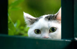 Gurious Glance of Cat, Cat Eyes Royalty Free Stock Images