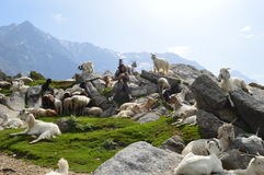 Gurjars of himachal. The sheep grazing on the high reaches of Triund peak Stock Photo