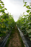 gurka blad, blomma, gräsplan, murgröna som planterar, omvandling Fotografering för Bildbyråer