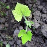 Gurkagrodd på jordbakgrund Arkivbild