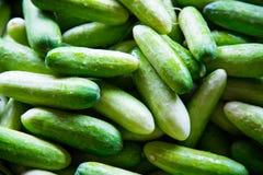 Gurkan är en brett odlad växt i kalebassfamiljen Cucurb Royaltyfria Bilder