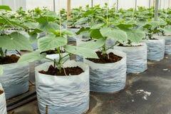 Gurkaodling i växthus Fotografering för Bildbyråer