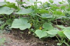 Gurkaplanta i ett växthus Arkivbild