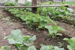 Gurkaplanta i ett växthus Royaltyfri Foto
