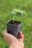 Gurkaplanta i händerna av åkerbrukt organiskt arbeta i trädgården Royaltyfri Foto