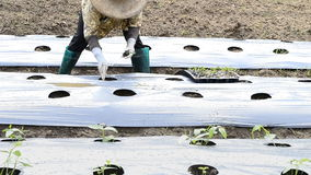 Gurkaväxt i bygdlantgård