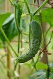 Gurkaväxt med frukt Fotografering för Bildbyråer