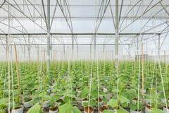 Gurkaväxt som växer i växthus royaltyfri bild