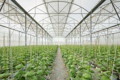 Gurkaväxt som växer i växthus Arkivbild