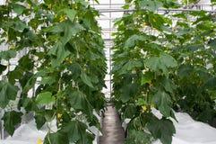 gurkaväxter royaltyfria foton