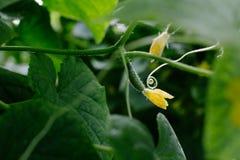 Gurke, die im Garten wächst Lizenzfreies Stockfoto