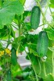 gurke Sehr gute Ernte von Gurken Ernten von Gurken Sehr geschmackvolles Gemüse Stockbild