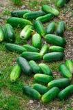 gurke Sehr gute Ernte von Gurken Ernten von Gurken Sehr geschmackvolles Gemüse Stockbilder