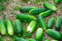 gurke Sehr gute Ernte von Gurken Ernten von Gurken Sehr geschmackvolles Gemüse Stockfoto
