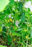 gurke Sehr gute Ernte von Gurken Ernten von Gurken Sehr geschmackvolles Gemüse Lizenzfreies Stockbild