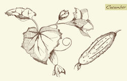 Gurke, Vektorillustration Stockbilder