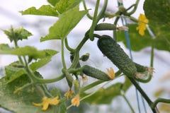 Gurkegemüse mit Blättern und Blumen Lizenzfreies Stockfoto