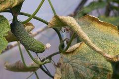 Gurkegemüse mit Blättern und Blumen Stockfotos