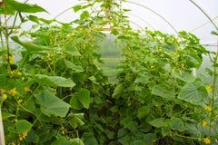 Gurken, die in einem Gewächshaus wachsen lizenzfreies stockbild