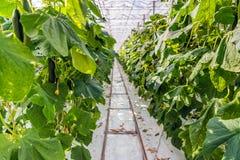 Gurken, die ohne Boden in einem niederländischen Gewächshaus wachsen Stockbilder