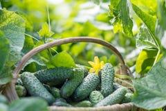 Gurken im Korb im Naturhintergrund Lizenzfreies Stockfoto