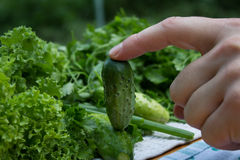 Gurken vom Garten Lizenzfreie Stockfotos