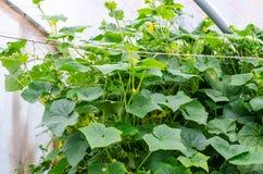 Gurkenanlagen Stockbild