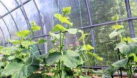 Gurkenanlagen auf dem gardenbad Lizenzfreie Stockfotos