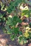 Gurkenblatt-Störungseffekt zum Wachstum und zum Ertrag Stockbild