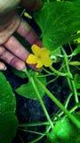 Gurkenblume Lizenzfreies Stockbild