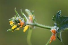 Gurkenblume am Anfang Lizenzfreie Stockfotografie