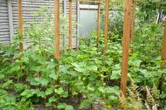 Gurkeneierstock Plantagengurken Stockfotografie