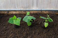 Gurkensämling am Gewächshaus, organische Bearbeitung im Gemüsegarten Stockbilder
